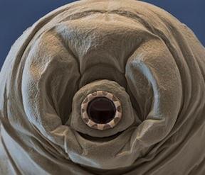 tardigrades_06-600x514