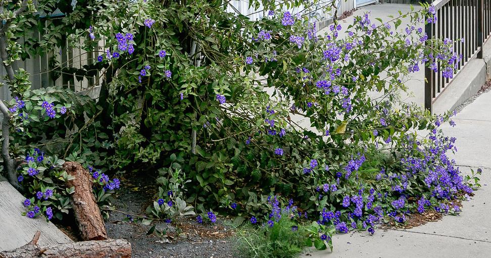 Peruvian nightshade (solanum peruvianum) on 2nd Street
